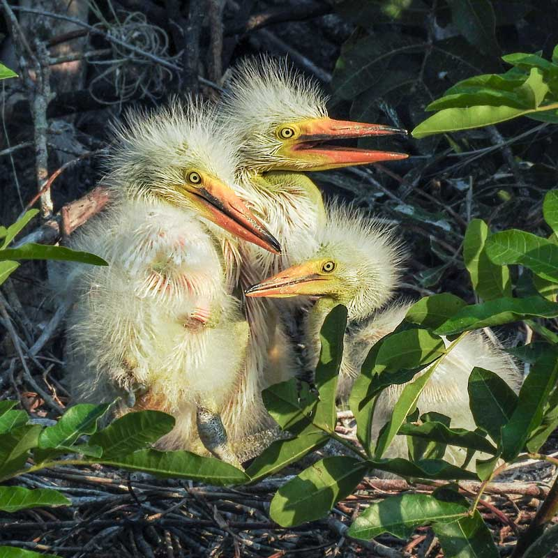 Great Egret chicks get to to know one another at the Venice Rookery. See the video here.