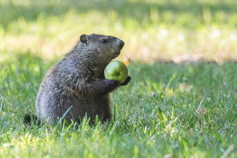A Groundhog handles an apple in Berea, Ohio.